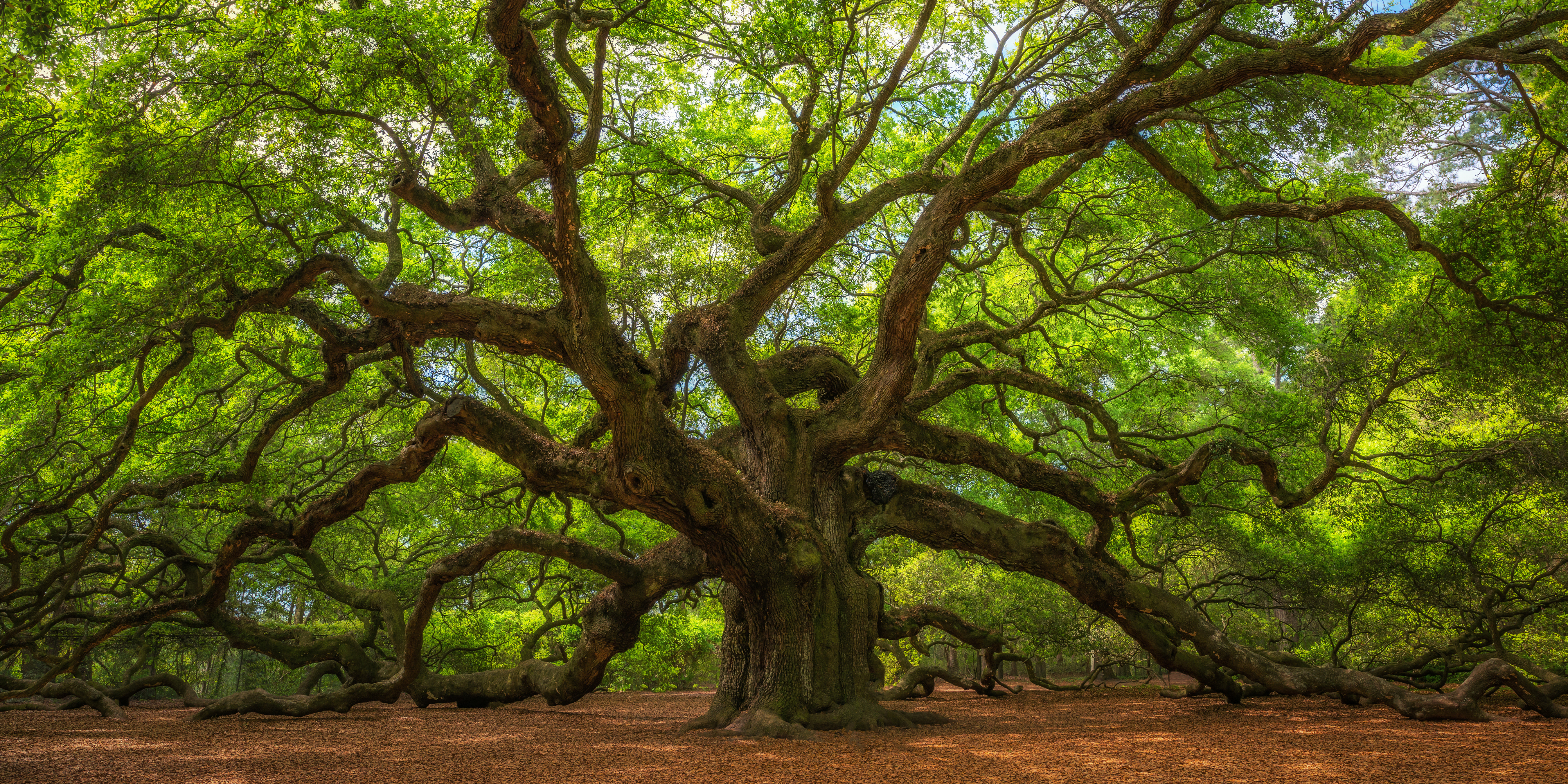 Angel Oak Tree in Charleston